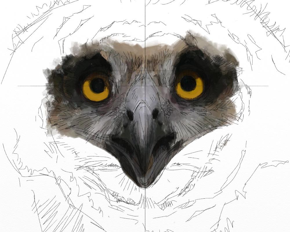 Eagle owl juv 1b