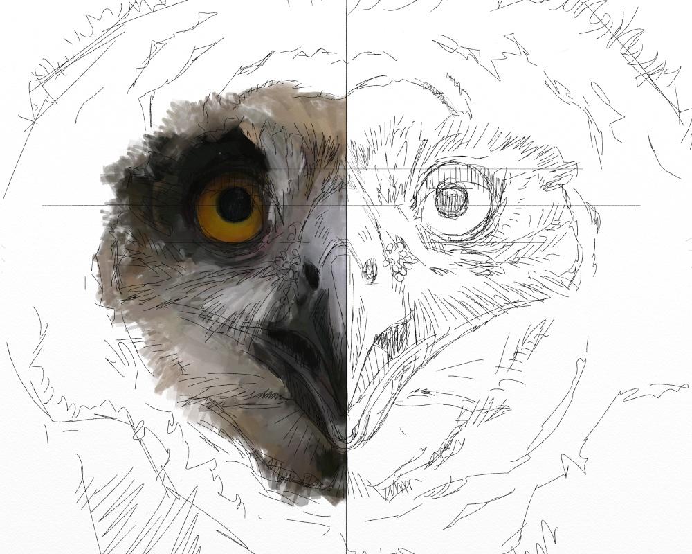 Eagle owl juv 1c