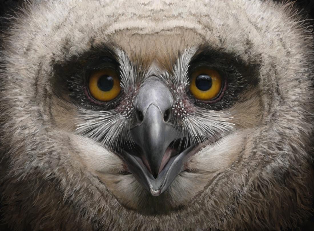 Eagle owl juv 1i